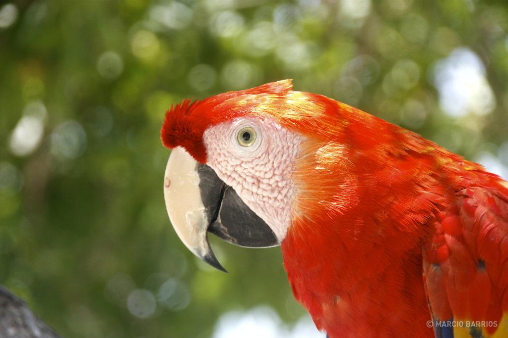 Macaw in Bando beach