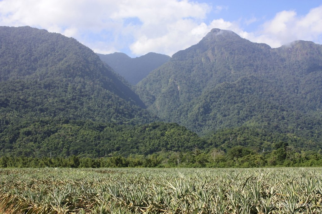 Pineapple plantations and Pico Bonito in the background